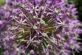 Allium Giganteum Close Up.jpg
