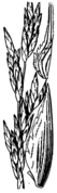 Allolepis texana drawing.png