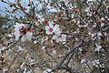 Almond tree's blossoming flowers.jpg