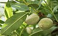 Almonds 2347.jpg