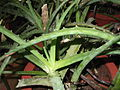 Aloe arborescens-yercaud-salem-India.JPG