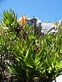 Aloe commixta - cape peninsula aloe - Kommetjie - Cape Town 3.jpg