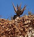 Aloe marlothii 4 (9436841008).jpg