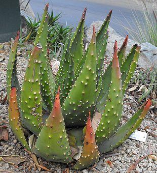 Specie di aloe wikipedia for Tipi di aloe
