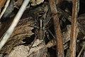 Alopecosa sp. Bytom.jpg