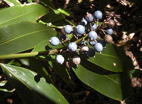 Description de l'image Alpinia caerulea fruit.jpg.