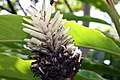 Alpinia purpurata 20zz.jpg