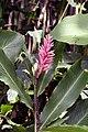 Alpinia purpurata 7zz.jpg