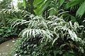 Alpinia vittata kz10.jpg