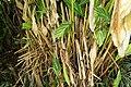 Alpinia zerumbet 33zz.jpg