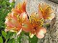 Alstroemeria flowers apricot colour.jpg
