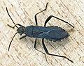 Alydus calcaratus01.jpg
