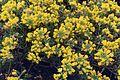 Alyssum arenarium.jpg
