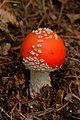 Amanita muscaria (29445744543).jpg
