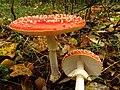 Amanita muscaria (5) (49147931077).jpg