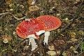 Amanita muscaria (5033704141).jpg