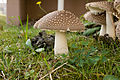 Amanita pantherina 12.jpg