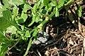 Amaranthus blitoides flowers 8601.JPG