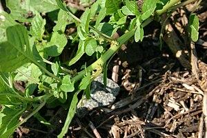Amaranthus blitoides - Image: Amaranthus blitoides flowers 8601