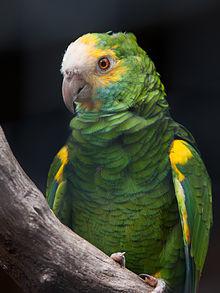 Amazonas Barbadensis o Amazonas de Hombro Gualda 220px-Amazona_barbadensis_-Palmitos_Park%2C_Gran_Canaria%2C_Canary_islands%2C_Spain-8a