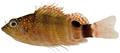 Amblycirrhitus pinos - pone.0010676.g105.png
