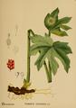 American Medicinal Plants-009 0061.png