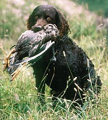 American Water Spaniel Dog Breed and Photos and Videos ... American Water Spaniel Dogtime
