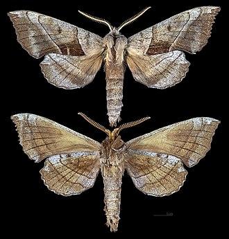Amorpha juglandis - Image: Amorpha juglandis MHNT CUT 2010 0 266 Sank City Sank Co Wisconsin male