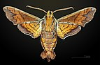 Amphion floridensis MHNT CUT 2010 0 11 Cherry Point Havelock, North Carolina male ventral.jpg