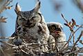 "An Owl with ""Ears"" (4818832605).jpg"