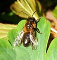 Andrena sp. - Flickr - gailhampshire (10).jpg