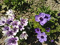 Anemone coronoria - 3.jpg