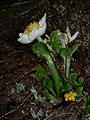 Anemone occidentalis 21005.jpg