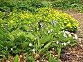 Anemone ranunculoides 004.jpg