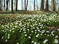 Anemonen im Wald bei Oberaichen - geo.hlipp.de - 7651.jpg