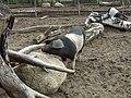 Angler Sattelschwein in Klaistow 001.JPG