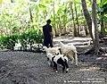 Angon Wedhus - panoramio.jpg