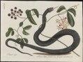 Anguis niger - 1700-1880 - Print - Iconographia Zoologica - Special Collections University of Amsterdam - UBA01 IZ12100087.tif