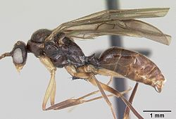 Anochetus boltoni casent0063847 profile 2.jpg