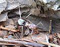 Anoplolepis custodiens, met prooi, c, Krugersdorp.jpg