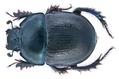 Anoplotrupes stercorosus (Scriba, 1791) Male (19339773078).png