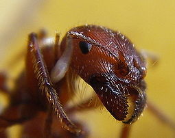 This closeup shows the prominent mandibles and the comparatively small compound eyes.