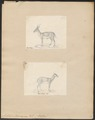 Antilope cervicapra - 1700-1880 - Print - Iconographia Zoologica - Special Collections University of Amsterdam - UBA01 IZ21400099.tif