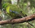 Antipodes Island Parakeet (31641204316).jpg