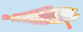 Aphos porosus.png