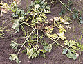 Apium graveolens var. rapaceum Erwinia carotovora subsp. carotovora (Knolselderij Monarch hartrot).jpg