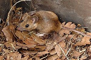 Yellow-necked mouse - Image: Apodemus.flavicollis