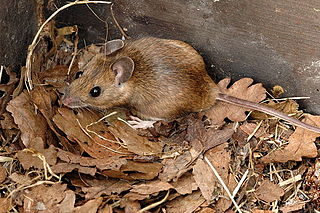 Yellow-necked mouse species of mammal