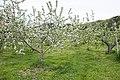Apple orchard in Daigo, Ibaraki 01.jpg