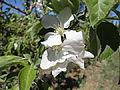 Appleflower.jpg